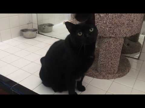 """Awesome Sweet """"Jet"""" Black Cat for Adoption"""