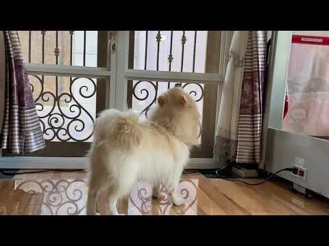 Bucky  my Pomeranian x Japanese Spitz 3 years old dog. #ShotByiPhone11ProMax