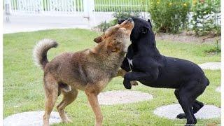 cane corso (케인코르소) 8 months VS korean jindo dog (진돗개) 2year