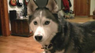 Shiloh Gets A New Toy! Siberian Husky