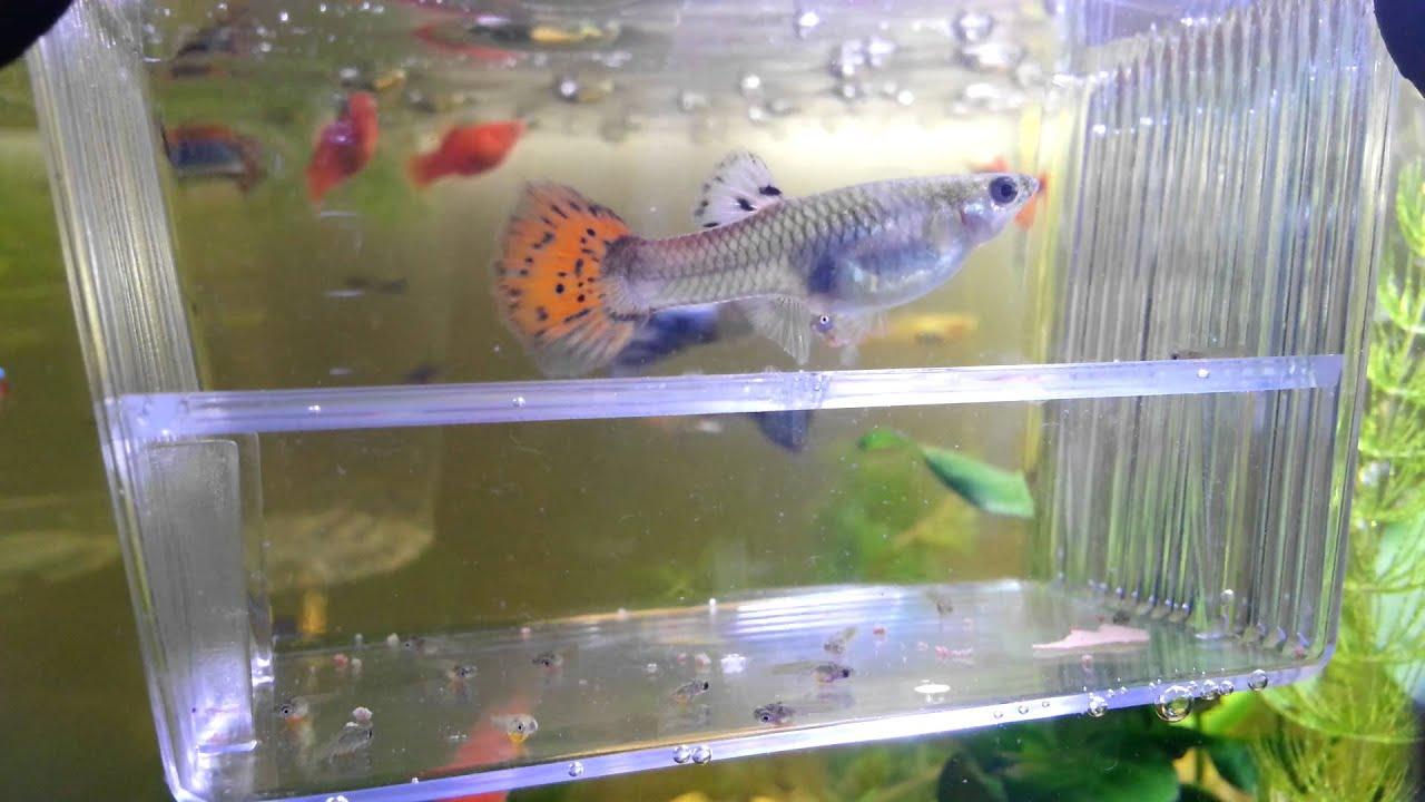 20130522 - 孔雀魚生產   Doovi
