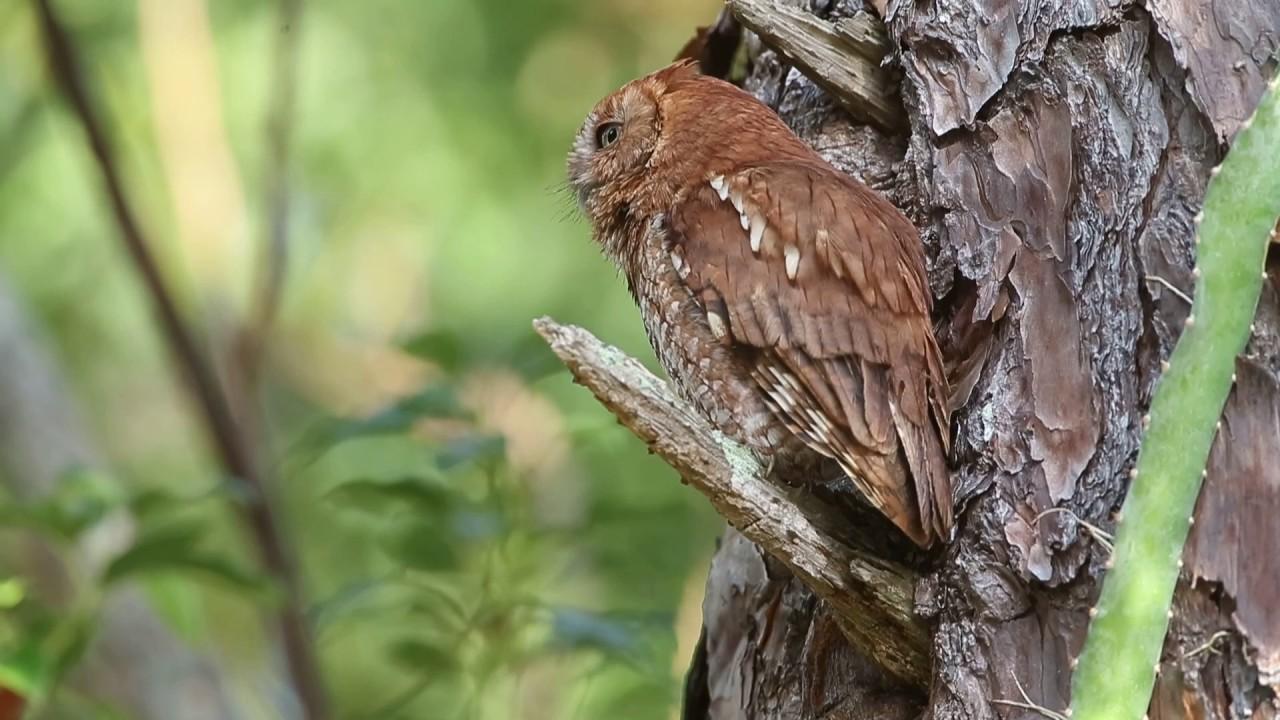 Eastern Screech Owl Call Trill Youtube