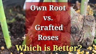 Own Root vs Grafted Roses: Which are Better?
