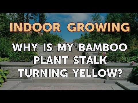 Why Is My Bamboo Plant Stalk Turning Yellow Youtube
