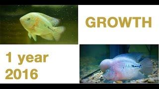 king kamfa Flowerhorn Hump - 1 Year Growth
