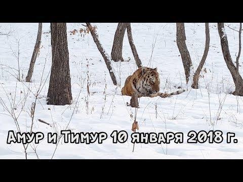 АМУР И ТИМУР 10 ЯНВАРЯ 2018 г.