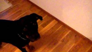Cheddar Gustav- Rottweiler/ Boxer Mix!  My Dog Is Yelling At Hot Food!