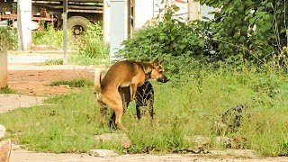 Village Dogs Mating and Trying on her Back such beautiful Time #43