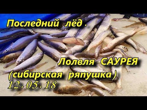 последний лёд  ловля саурея сибирской корюшки 12 05 18