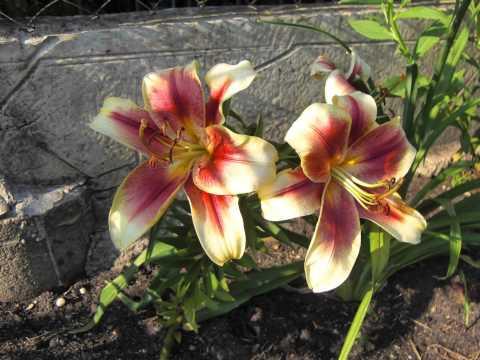цветы на даче. фото