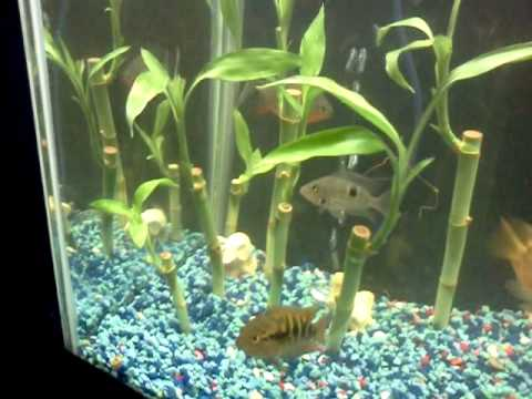 Bamboo Plants In The Fish Tank Youtube