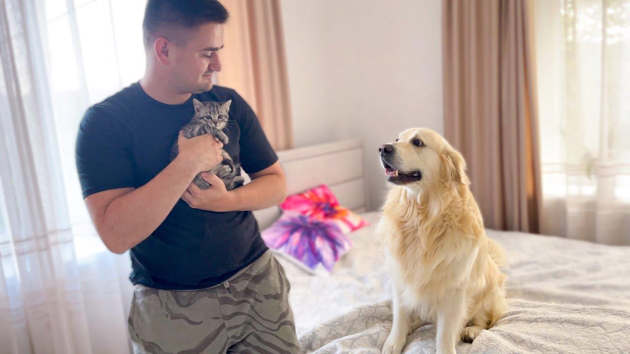 Golden Retriever is Jealous of Me for a Baby Kitten