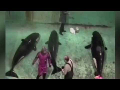 KILLER WHALE capture footage - Orca hunter becomes Orca rescuer
