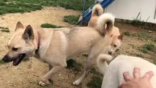 保健所出身の野犬達と、譲渡対象外にされ殺処分寸前でレスキューした紀州MIXキッシュ、そして当施設のリハビリ担当犬ワサビ達。 今日はいつも...