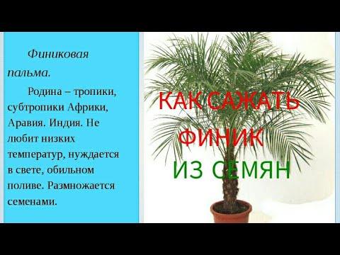 Пальмы уход, выращивание, полив, посадка в домашних условиях