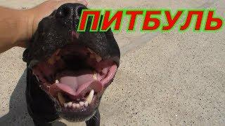 Спасение Бойцовой собаки  Американский питбультерьер от собачьих Боёв
