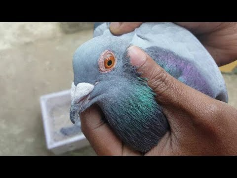 How To Train New Pigeon To Come Back Home | Pigeon Training 2km | 2nd Time In 17 Minutes