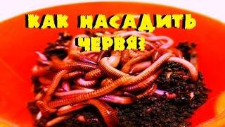 видео Наживки - дождевой червь, навозный червь » Сайт о рыбалке для начинающих