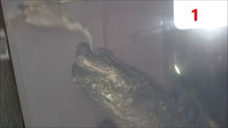 SNAPPING TURTLE EATS 5 TOADS! HD