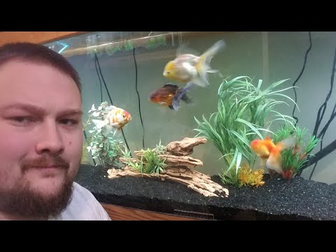 How To Determine Goldfish Gender