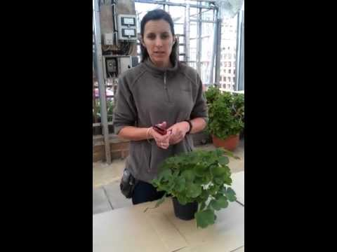 How to overwinter a Pelargonium(geranium)
