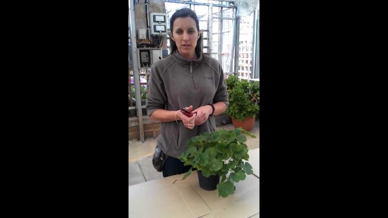 how to take geranium cuttings the vernon way