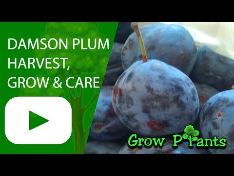 Damson Plum Tree - Grow, Care & Harvest