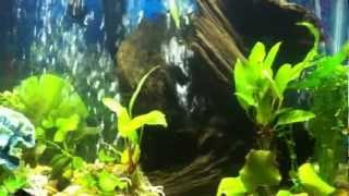 New Driftwood In Aquarium