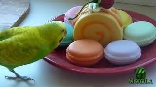 волнистые попугаи #3 видео слушать пение волнистых попугаев