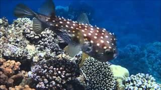 Pesce istrice