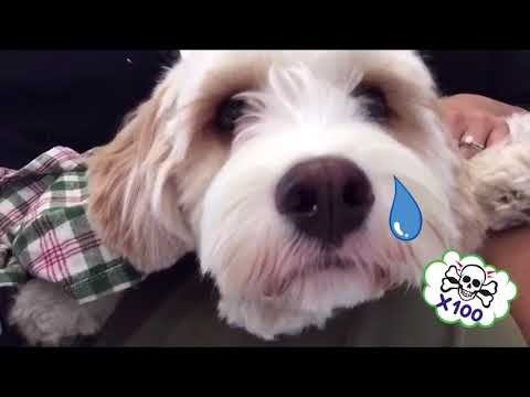 Dog HATES the vet crying video