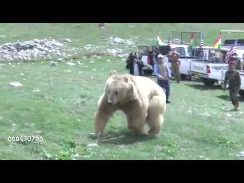 Two bears released to the wild in Iraq احسان مةلا زاده