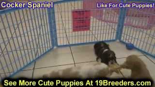 Cocker Spaniel, Puppies, For, Sale, In, Jacksonville,florida, Fl,tallahassee,gainesville,