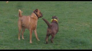 Labrador Frankie & Shar-pei Alfie At A & B Dogs Boarding & Training Kennels.