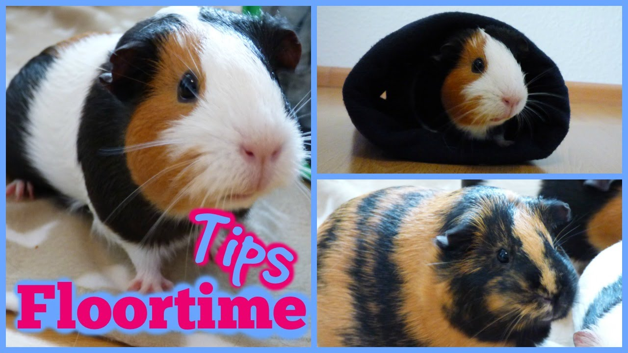 Floortime Tips For Guinea Pigs   YouTube