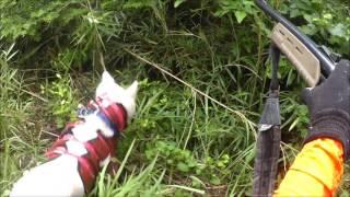 恐怖!突進イノシシ・猟犬が舞う!65kgメス<閲覧注意!狩猟・駆除>