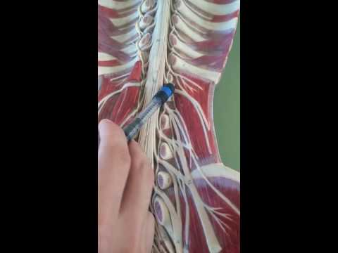 (HMTU) mô hình đám rối thần kinh 2