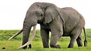 Африканский слон - African Elephant (Энциклопедия животных)