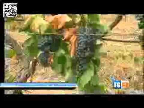 SERVIZIO TGR  Il vitigno più antico del...