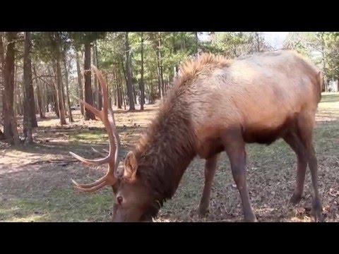 Cherokee Trace Drive Thru Wildlife Safari Jacksonville, TX 1080i HD