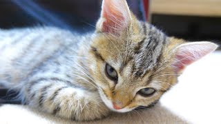 ENG) The kitten tired from going to the hospital! 【Second vaccination】