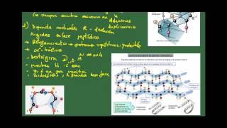 Biología 2 bach. Tema 4: Las proteínas. Ap 2: Enlace peptídico y estructura de las proteínas