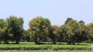 Hakea decline Limuru tea estate