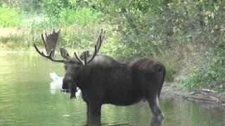 Alces alces shirasi - Bull Moose filmed in HD