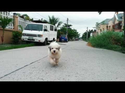 The Cutest Shih Tzu  X Japanese Spitz Dog Ever (meet My Dog)