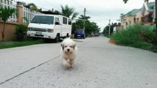 Cutest Shih Tzu Japanese Spitz Dog Ever Meet My Dog
