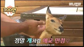 Deer follows the man around like his pet dog