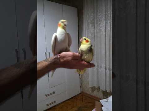 Çok sevimli ve uysal konuşan sultan papağanı