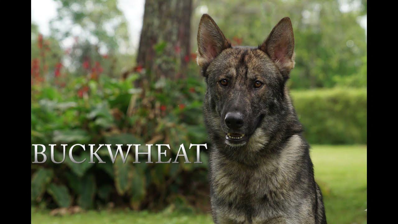 Kennel Buckwheat