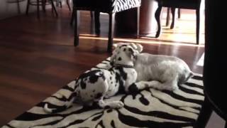 Harlequin Great Dane Vs Miniature Schnauzer - Wrestling